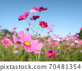 Cosmos field with a clear autumn 70481354