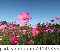 Cosmos field with a clear autumn 70481355