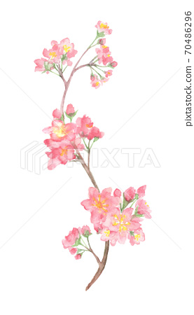 Illustration of cherry blossoms drawn in watercolor 70486296