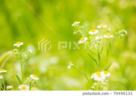 야생화 개망초 (계란꽃) 70490132
