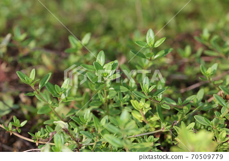 Creeping time, easy-to-grow herbs 70509779