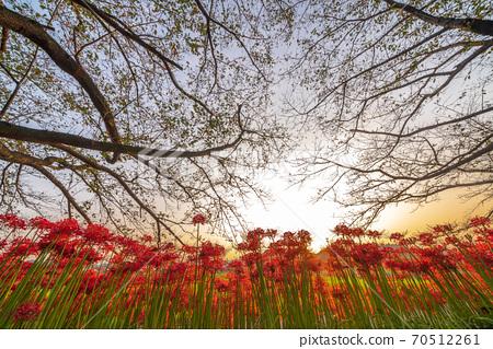 """我想看"""" Sa玉縣""""黃昏時分在沼沼稻田裡盛開的花朵 70512261"""