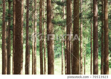 삼나무 숲 70513923