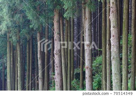 축령산 삼나무.편백나무 숲 70514349