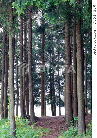 축령산 삼나무.편백나무 숲 70514350