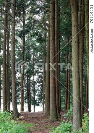 축령산 삼나무.편백나무 숲 70514351