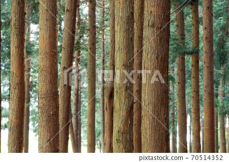 축령산 삼나무.편백나무 숲 70514352