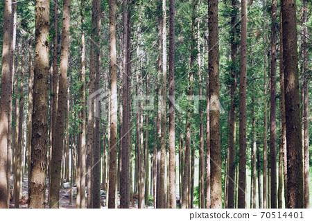 축령산 삼나무.편백나무 숲 70514401