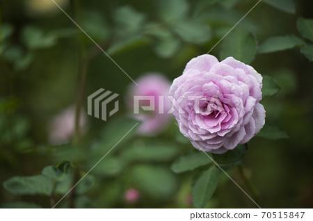 科蒂永玫瑰 70515847