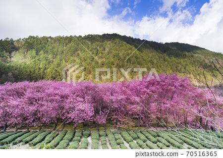 武陵農場浪漫櫻花季 70516365