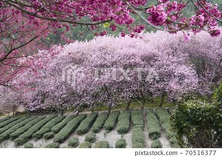 武陵農場浪漫櫻花季 70516377