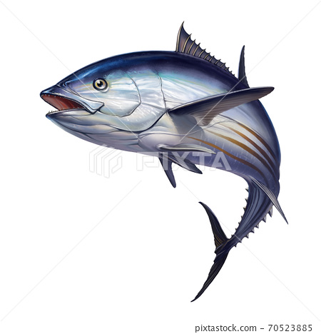 Striped tuna fish, Skipjack Tuna, Katsuwonus pelamis. Realistic isolated illustration. 70523885