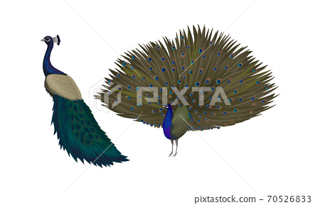 Peafowl or Peacock as Bird Specie with Extravagant Plumage Vector Set 70526833