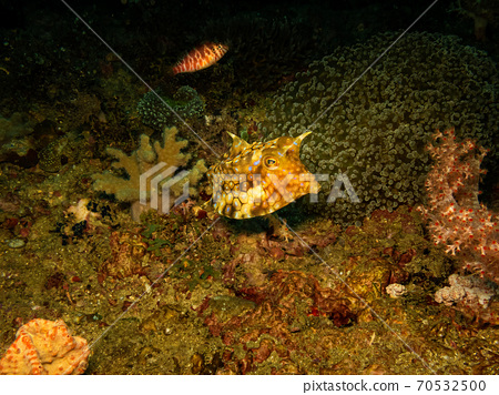 Thornback cowfish or Lactoria fornasini at a Puerto Galera tropical coral reef in the Philippines 70532500