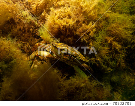 A closeup picture of a crab underwater. Picture from Oresund, Malmo Sweden 70532705