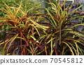 가늘고 색을 띤 잎 아름다운 70545812