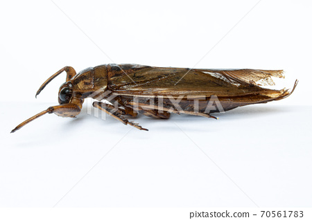 A fried cockroach, isolated on white background. Roasted bug, close up. A edible insects. 70561783