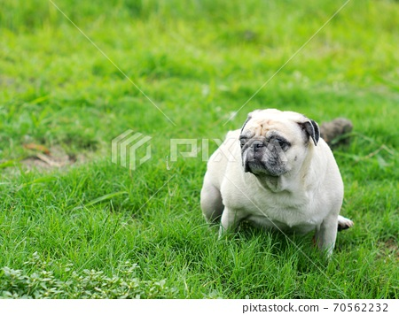 old small white fat lovely happy cute pug dog pee and  relaxing on green grass garden floor outdoor on good weather day 70562232