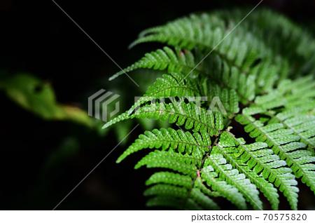 蕨類植物_特寫 70575820