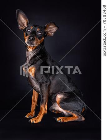 Portrait of a Miniature Pinscher on black 70588409