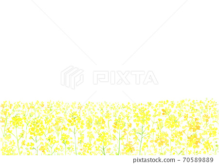 Background illustration of rape blossoms drawn in watercolor 70589889