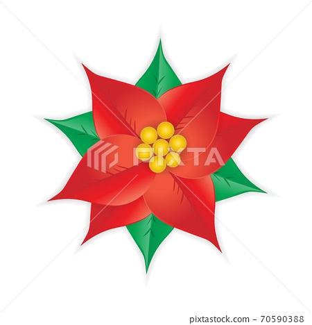 Red Christmas poinsettia flower isolated on white 70590388