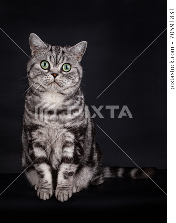 British Shorthair Cat with green eyes on black 70591831