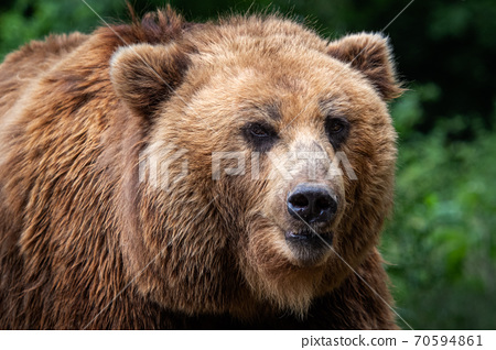 Kamchatka Brown bear (Ursus arctos beringianus). Brown fur coat, danger and aggresive animal. Big mammal from Russia. 70594861