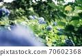 雨後的繡球花用膠卷相機切斷 70602368