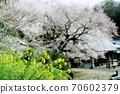 春天的景色有油菜花和櫻花的寺廟 70602379