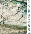 (電影照片)春天的風景與美麗的櫻花和溫暖的陰影 70602382