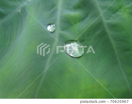 Morning dew of leaves of taro 70620967