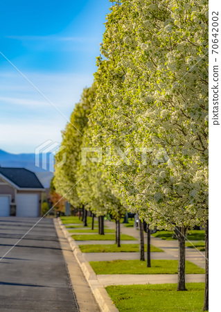 Row of luxuriant trees on the landscaped sidewalk of a road on a sunny day 70642002