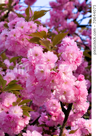 pink cherry blossom on a sunny day. nature beauty in springtime 70644075