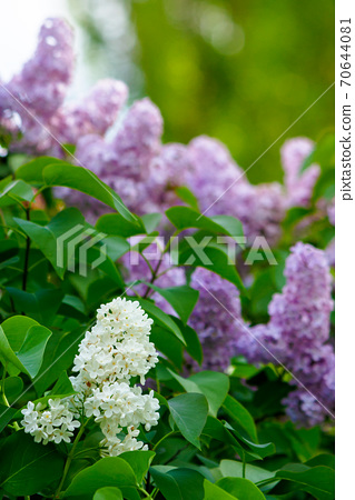 lilac blossom. beautiful scenery in the garden. sunny nature background in springtime 70644081