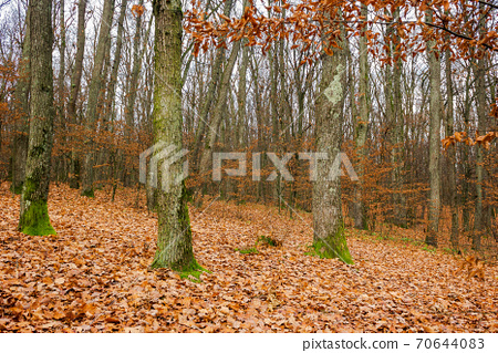forest and fallen foliage in november. dry leaves on the ground. leafless branches and trunks with moss. calm nature scenery. 70644083