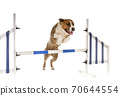 jumping american staffordshire terrier 70644554