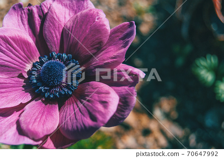 Macro of an isolated pink flower of anemone coronaria 70647992