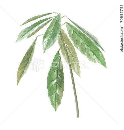 코라노키 콜라 나무 잎 70657755