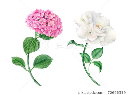 Vintage wateroclor collection of pink hydrangea and white rose 70666559