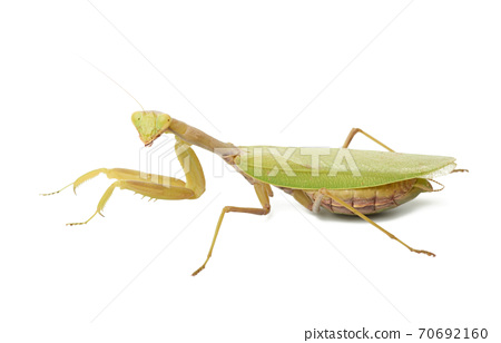 green young mantis sitting on a white background 70692160