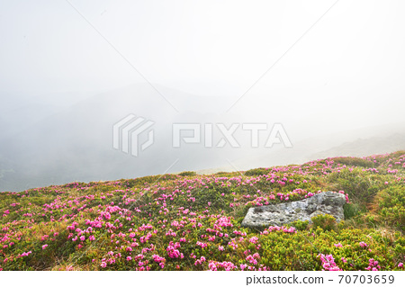 Rhododendrons bloom in a beautiful location in the mountains. Flowers in the mountains. Blooming rhododendrons in the mountains on a sunny summer day. Dramatic unusual scene. Carpathian, Ukraine 70703659