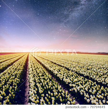 Night over fields of daffodils. Fantastic starry sky and the milky way 70704645