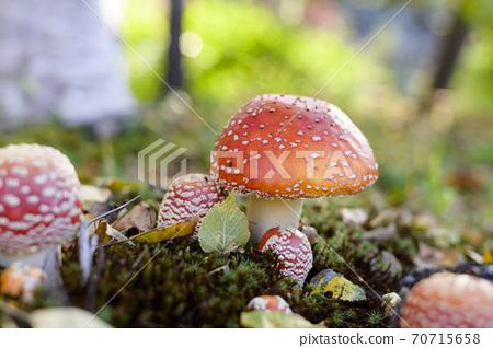 可愛的蘑菇(有毒蘑菇貝尼滕塔克) 70715658
