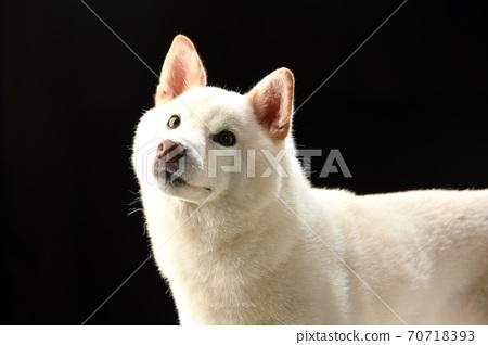 芝士狗在黑色背景上的工作室肖像 70718393