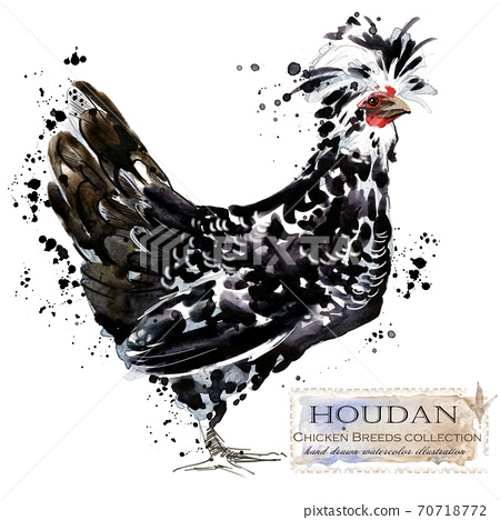 Chicken breed collection. Poultry farming. domestic farm birds hand drawn watercolor illustration. Hen. Rooster.  70718772