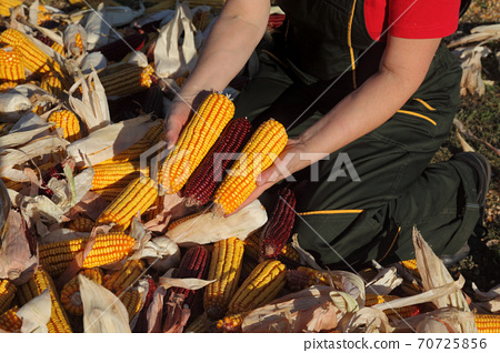 Farmer and heap of harvested corn 70725856