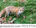 Autumn fox in Hokkaido Niseko up 70727734
