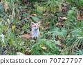 Autumn Kita Fox in Hokkaido Niseko Profile 70727797