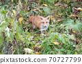 Autumn fox in Hokkaido Niseko 70727799
